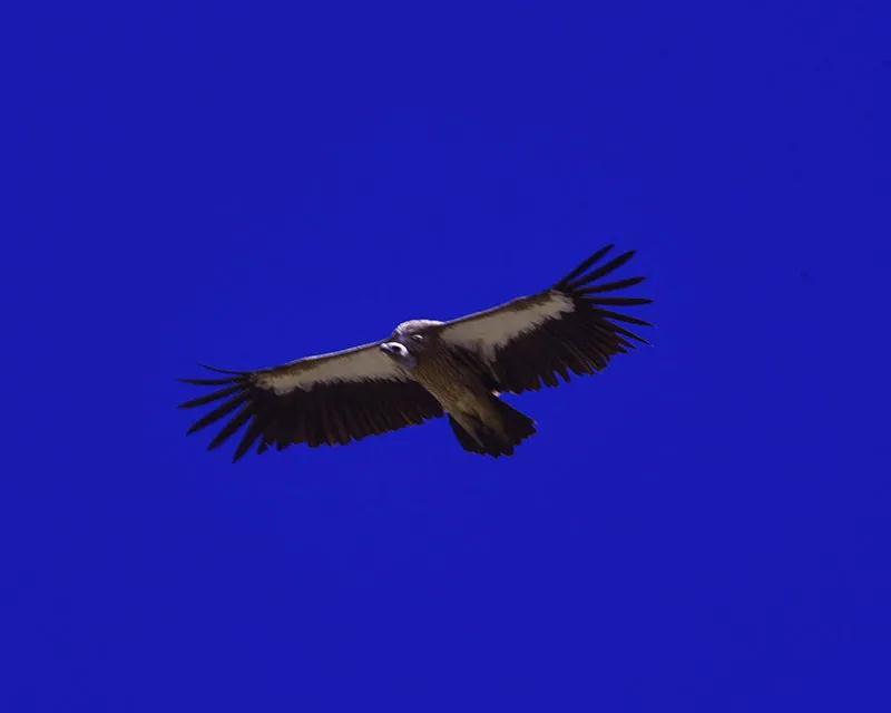 喜马拉雅兀鹫