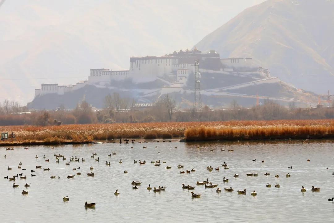 高清图集!拉鲁湿地迎来最美候鸟季